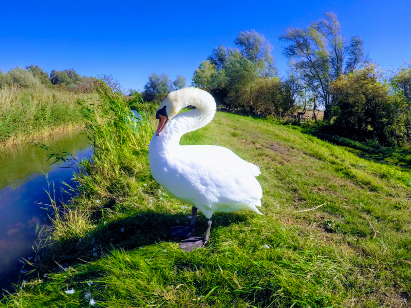 Wicken Fen swan