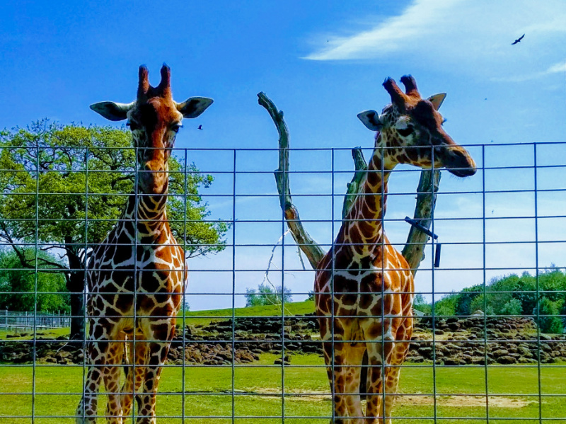 Giraffes at Africa Alive, a zoo in East Anglia