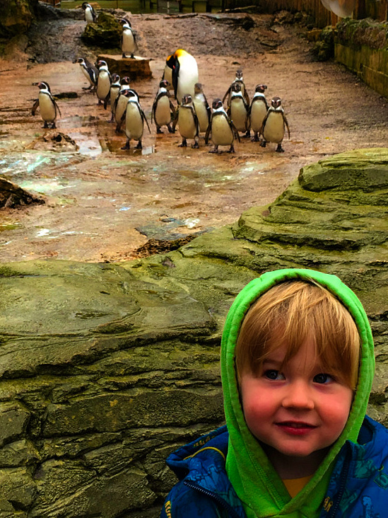 King Penguins at Birdland in Bourton-on-the-Water