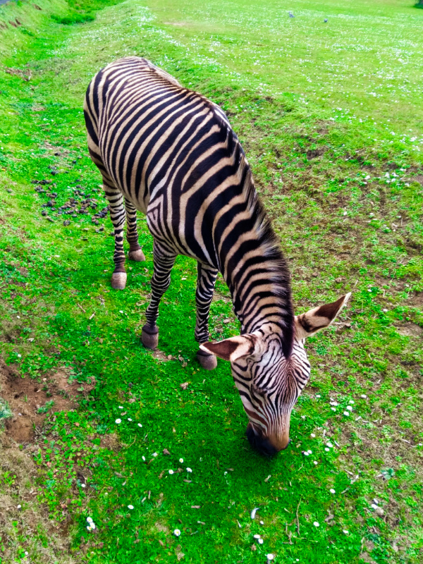 Linton Zoo Animals - Zebra