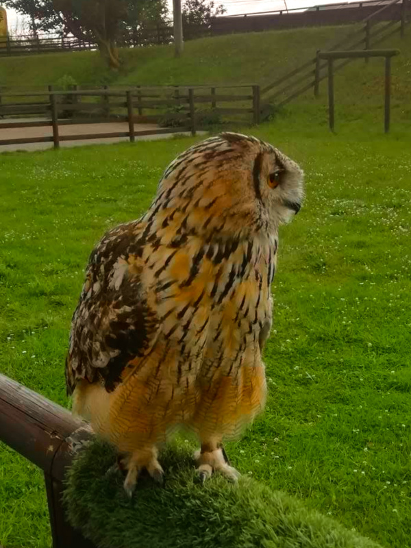 Owl at Shepreth Wildlife Park, a zoo in East Anglia