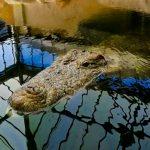 Thrigby Hall - Crocodile