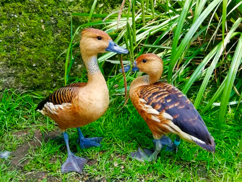 Thrigby Hall - Ducks