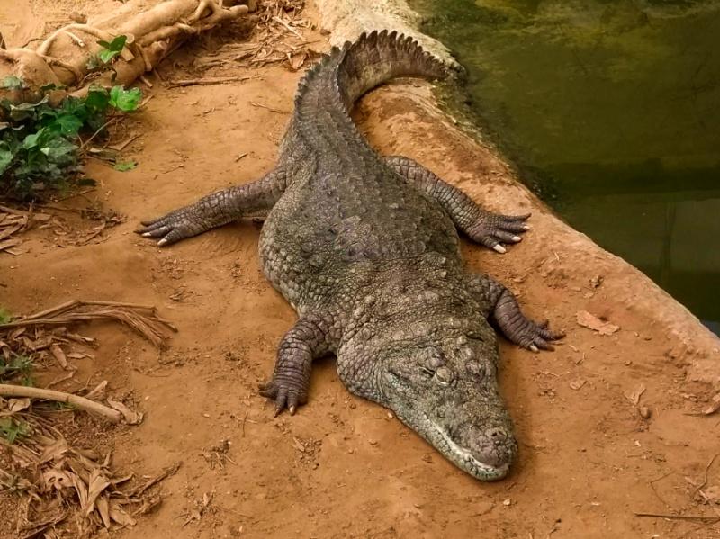 Thrigby Hall Gardens Crocodile