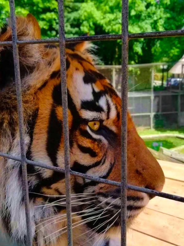 Thrigby Hall Gardens Tiger