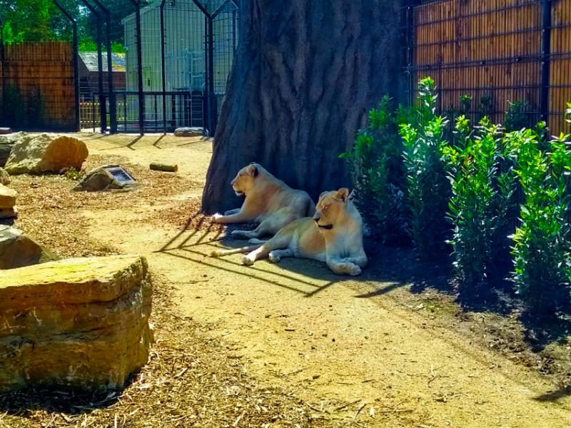 Paradise Wildlife Park Animals - Lions