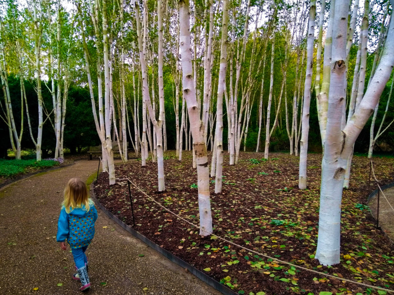 Anglesey Abbey - Himalayan birches