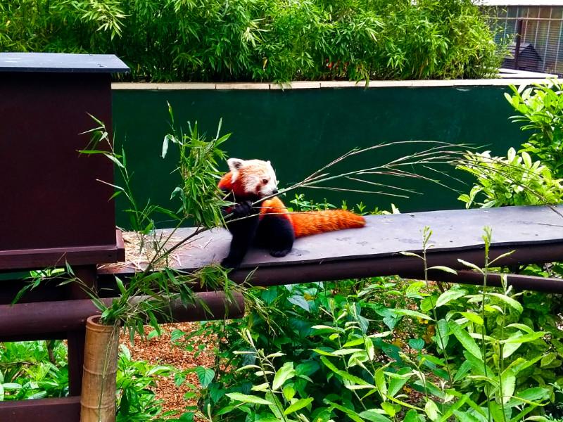 Red panda at Shepreth Wildlife Park