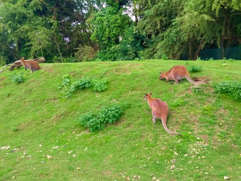 Shepreth Wildlife Park - Wallabies